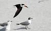 Flyby -- Black Skimmer (Rynchops niger);  Venice, FL, Venice Beach [Lou Feltz] (deserttoad) Tags: nature animal water park florida bird wildbird tern gull flight behavior beach