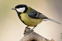 Perfil* (Enllasez - Enric LLaó) Tags: aves aus bird birds ocells pájaros 2018 lleida