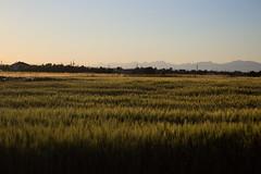 Barley fields, Deryneia (marios_h) Tags: barley field barleyfield grains agriculture horizon mountains landscape harvest deryneia cyprus