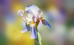 Iris in the garden. (augustynbatko) Tags: iris flower nature garden macro spring may blur bokeh irys kwiat natura ogród makro wiosna maj fiori giardino primavera maggio sfocatura