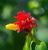 Costus woodsonii 'Red Button' Ginger Plant (tkclip47) Tags: costuswoodsonii red button ginger plant flower bloom tropical yellow