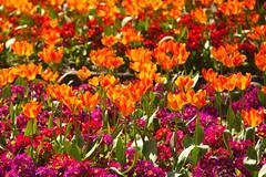 Tulips @ Kelsey Park (Adam Swaine) Tags: tulip flora flowers orange petals nature spring springinkent seasons canon colours england english britain kent 2018 beautiful uk ukcounties