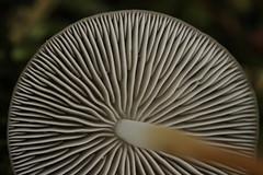 Pinecone Cap - Stribulurus tenacella (Björn S...) Tags: bittererkiefernzapfenrübling bitterekiefernzapfennagelschwamm strobilurustenacellus pseudohiatulatenacella pineconecap mushroom pilz fungo champignon hongo