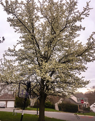 Pear Tree (Donald.Gallagher) Tags: de delaware nature newcastlecounty northamerica pear pikecreek plants public spring tree typecolor typelightroom typeportrait typeshutterbuttonfocus typewideangle usa vertical woodcreek