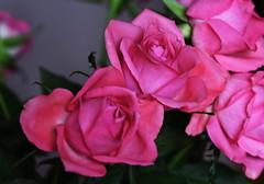 DSC_9149 (PeaTJay) Tags: nikond750 sigma reading lowerearley berkshire macro micro closeups gardens indoors nature flora fauna plants flowers bouquet rose roses rosebuds