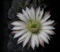 Night Blooming Cactus Flower Before Sunrise (Bill Gracey 19 Million Views) Tags: fleur flower flor cactus nightbloomingcactus offcameraflash lastoliteezbox manualmode macrolens color colorful shapes light yongnuo yongnuorf603n garden lakeside softbox softlight droughttolerantlandscaping