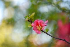 Chaenomeles / Flowering quince / Pigwowiec (agnieszka.a.morawska) Tags: dof macro manualfocus manuallens oldlens helios44m helios wiosna pigwowiec spring nature flower bokehlicious beyondbokeh bokeh
