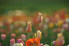 Tulip Impression - Tulpenimpression (W_von_S) Tags: tulip tulpe flower blumen blüten blossoms field feld ebersberg tulpenfeld tulipfileld impression bavaria bayern spring frühling april 2018 fokus focus depthoffield tiefenschärfe bokeh gegenlicht backlight color colorful farben farbig sony sonyilce7rm2 tele wvons werner outdoor