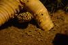 DSC_0588 02 r (Kolja42) Tags: leopardgecko naira