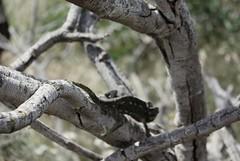 meeting chameleon (nothinginside) Tags: close encounters incontri ravvicinati chameleon camaleonte malta europe 2018 sauro lucertola trees lizard rettile reptile south birzebuggia