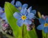 Forget-me-not (frankmh) Tags: plant flower myosotis forgetmenot macro hittarp skåne sweden lowangle