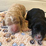 Stella and Scotty's 5 girls and 2 boys !! Stella's F1b mini litter goes home on June 9th.. All of Stella's puppies are reserved