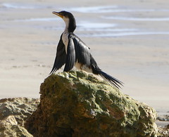 Low level drying! (The Pocket Rocket, On and Off.) Tags: littlepiedcormorant microcarbomelanoleucos torquay rock victoria australia