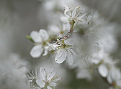 Brave blossom (A child in the night) Tags: gordonwasson spring rain promise white macro blossom england grey flower hope