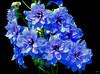 delphin~blu (milomingo) Tags: delphinium larkspur flower bloom petal nature blue purple black onblack organic garden light dark contrast vivid multiple closeup vibrant horticulture botanical cmwd cmwdblue bold 4mazingorgeoushotsoflowers languageofflowers exquisiteflowers floral buttergarden
