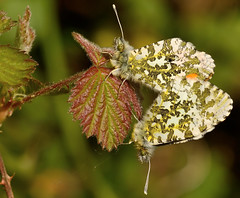 Orange-Tip Butterfly mating (Severnrover) Tags: butterfly butterflies mating breeding orange tip lepidoptera uk may