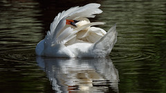 Swan on the lake (1/3) : cleaning feathers (Franck Zumella) Tags: lake lac white swan blanc cygne eau water animal nature bird oiseau clean cleaning nettoyer plume feather reflection reflexion