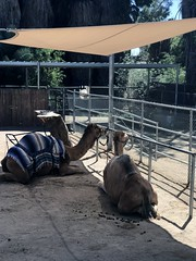 Camels in the shade (LANE5530) Tags: camels phoenixzoo vacation phoenix arizona