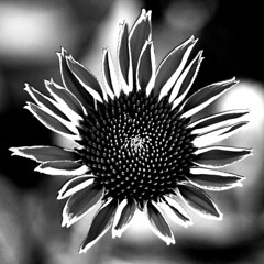 Echinacea in monochrome (HansHolt) Tags: echinacea coneflower zonnehoed petals bloemblaadjes flower bloem bokeh macro birdseyeview bw zw monochrome canon 6d 100mm canoneos6d canonef100mmf28macrousm