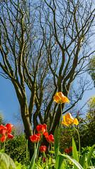 arboretum nottingham 01 05 2018 e-02280 (jermaine.duffus) Tags: blue sky iso100 lenses kit a6000 sony sonya6000 tulips red yellow tree flowers nottingham arboretum