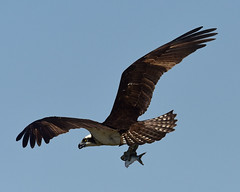 DSC_8331-Osprey in Flight (laurie.mccarty) Tags: osprey bird sky flight raptor nature wildlife outdoor forsythenwr