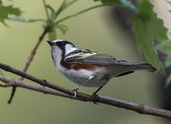 Chestnut-sided Warbler (Chuck Hantis) Tags: