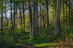Evening in the forest (frankmh) Tags: tree forest spring evening hittarp helsingborg skåne sweden