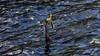 Speared (geemuses) Tags: bird birds waterbird anhinga australiandarter nature wildlife water sydneyharbour manly nsw australia ocean sea colour fish
