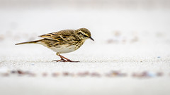Pipit (Stefan Marks) Tags: animal anthus anthusnovaeseelandiae beach bird nature newzealandpipit outdoor pipit sand searching pakiri northisland newzealand nzl