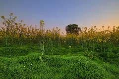 """ LA LA LAND "" (Wiffsmiff23) Tags: lonetree rapeseed field southwales farm farmer teletubies"