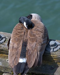 Goose Midday Napping (Scott 97006) Tags: canadiangoose sleeping eye neck feathers bird rest sleep water perched