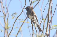 Black Phoebe (Sayornis nigricans); Tucson, AZ, Sweetwater Wetlands [Lou Feltz] (deserttoad) Tags: bird wildbird nature park arizona flycatcher phoebe tree behavior water