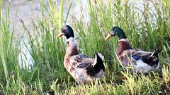 Duck couple (Nagarjun) Tags: dallake weeds manure boats boatmen srinagar kashmir jk light dawn sunrise