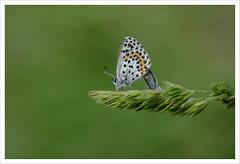 Farfalla 23 (Outlaw Pete 65) Tags: macro closeup farfalla butterfly erba grass natura nature colori colours nikond600 sigma105mm collebeato lombardia italia