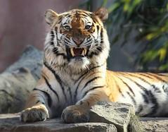 ALJOSCHA (babsbaron ( Bella )) Tags: tiger sibirisch katzen cats raubkatzen grosskatzen bigcats raubtiere predator jäger hunter canon eos sibirischertiger siberian kater