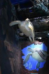 Wonders of Wildlfie National Museum and Aquarium (Adventurer Dustin Holmes) Tags: 2018 wondersofwildlife turtle turtles seaturtles seaturtle