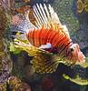 Akron Zoo 06-06-2014 - Lionfish 2 (David441491) Tags: lionfish fish aquarium akronzoo