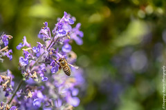Bee Macro (Snapping Beauty) Tags: 2018 years vibrantcolor tranquility beautyinnature nature seasons abstract day insects rural background spring garden honeybee purple peace scenery virginia nopeople clean natural naturewildlife colors publicpark stills horizontal places organic esp