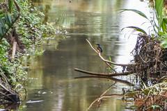common kingfisher (greenjay2) Tags: newbritain commonkingfisher