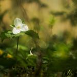 Trille Blanc thumbnail
