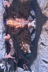 Octopus (Adventurer Dustin Holmes) Tags: 2018 wondersofwildlife octopus aquarium display exhibit saltwater animal animalia aquatic chordata