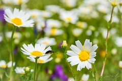 Empty daisy (Luis GA) Tags: macro daisy margarita nikon d5600 animal wildlife pradera flower flor green verde amarillo yellow spain españa extremadura monroy caceres europe europa lugamor luisga spring primavera