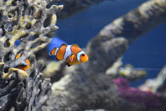 Clownfish (Adventurer Dustin Holmes) Tags: 2018 wondersofwildlife nemo clownfish fish amphiprioninae anemonefishanimalia chordata actinopterygii perciformes pomacentridae tropical saltwater corral