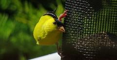 American Goldfinch (Hayseed52) Tags: bird americangoldfinch feeder yellow bright