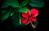 Red hibiscus (Sheehan Tauseef) Tags: hibiscus flower red green macro d7100 flowers contrast saturated flora floral nature natural