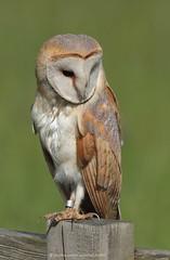 Barn Owl 18pg6921 (Pauline & Ian Wildlife Images) Tags: tytoalba barnowl