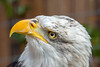 Sharp eye (Andriy Golovnya (redscorp)) Tags: bald eagle baldeagle weiskopfseeadler adler bird vogel wildpark poing wildparkpoing bayern bavaria deutschland germany sun sunny day beautiful light