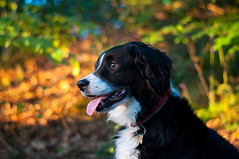 Mali (Captain192) Tags: dog dogs collie spaniel spanielcolliecross sprollie bordercollie outwoods theoutwoods woods trees sunset sunlight spring shadows