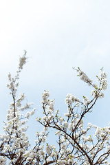 white blooming tree (thethomsn) Tags: white blooming tree flowers spring sky growth light canon 6dii 50mm thethomsn