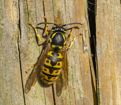 Vespula vulgaris, Common Wasp (gopper) Tags: wasp vespulavulgaris raptor evil insect killer stinger yellow black nikon d7200 ngc micro macro sigma 105mm sting common striped wood pulp pest forager foraging queen colony nest wasps